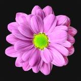 πράσινο ροζ ασβέστη λουλουδιών κεντρικών νταλιών Στοκ εικόνα με δικαίωμα ελεύθερης χρήσης