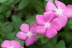 πράσινο ροζ λουλουδιών ανθών ανασκόπησης Στοκ εικόνα με δικαίωμα ελεύθερης χρήσης