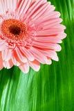 πράσινο ροζ φύλλων gerbera Στοκ φωτογραφία με δικαίωμα ελεύθερης χρήσης