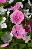 πράσινο ροζ lavatera λουλουδιών Στοκ εικόνα με δικαίωμα ελεύθερης χρήσης