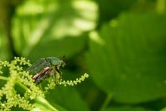 Πράσινο ροδαλό Chafer Lat Cetonia Aurata Στοκ εικόνες με δικαίωμα ελεύθερης χρήσης
