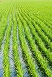 πράσινο ρύζι ορυζώνα πεδίων Στοκ Εικόνες