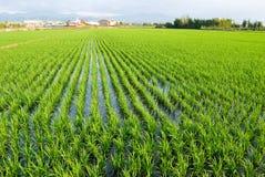 πράσινο ρύζι ορυζώνα πεδίων Στοκ Εικόνα