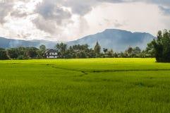 Πράσινο ρύζι ορυζώνα στο πεδίο στοκ φωτογραφία
