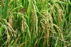 πράσινο ρύζι ορυζώνα Στοκ Φωτογραφίες