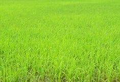 πράσινο ρύζι πεδίων στοκ φωτογραφίες με δικαίωμα ελεύθερης χρήσης
