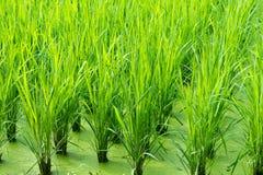 πράσινο ρύζι πεδίων ανασκόπησης Στοκ Εικόνα