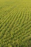 πράσινο ρύζι πεδίων ανασκόπησης Στοκ φωτογραφία με δικαίωμα ελεύθερης χρήσης