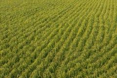 πράσινο ρύζι πεδίων ανασκόπησης Στοκ εικόνα με δικαίωμα ελεύθερης χρήσης