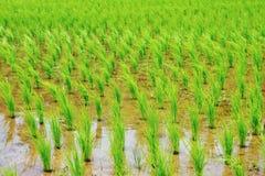 πράσινο ρύζι πεδίων Στοκ Φωτογραφίες