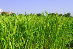 πράσινο ρύζι πεδίων Στοκ Εικόνες