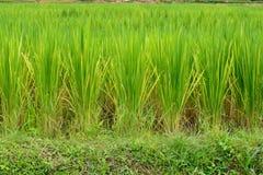 πράσινο ρύζι πεδίων Στοκ εικόνα με δικαίωμα ελεύθερης χρήσης