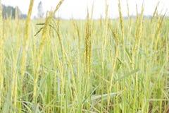 Πράσινο ρύζι σε έναν τομέα Στοκ Φωτογραφία