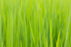 Πράσινο ρύζι φύλλων Στοκ εικόνα με δικαίωμα ελεύθερης χρήσης