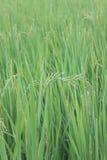 Πράσινο ρύζι. Στοκ Φωτογραφία