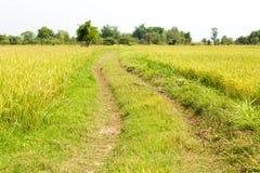 Πράσινο ρύζι Στοκ Εικόνες