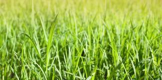 Πράσινο ρύζι Στοκ φωτογραφία με δικαίωμα ελεύθερης χρήσης