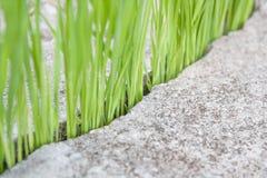 Πράσινο ρύζι Στοκ φωτογραφίες με δικαίωμα ελεύθερης χρήσης