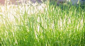Πράσινο ρύζι Στοκ Φωτογραφία