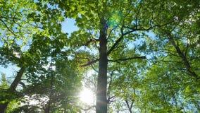 Πράσινο δρύινο δάσος, πανόραμα απόθεμα βίντεο