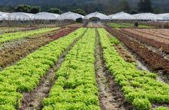 Πράσινο δρύινο και κόκκινο δρύινο οργανικό vegatable αγρόκτημα στην Ταϊλάνδη Στοκ φωτογραφίες με δικαίωμα ελεύθερης χρήσης