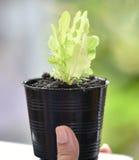Πράσινο δρύινο μαρούλι φύλλων υπό εξέταση Στοκ εικόνες με δικαίωμα ελεύθερης χρήσης