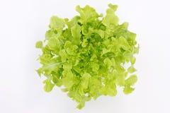 Πράσινο δρύινο μαρούλι Στοκ εικόνα με δικαίωμα ελεύθερης χρήσης