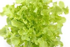 Πράσινο δρύινο μαρούλι Στοκ Εικόνες
