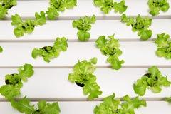 Πράσινο δρύινο μαρούλι hydroponics στο αγρόκτημα στην επαρχία Phangnga, Sout Στοκ εικόνες με δικαίωμα ελεύθερης χρήσης