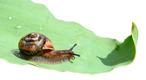 πράσινο σαλιγκάρι φύλλων Στοκ εικόνες με δικαίωμα ελεύθερης χρήσης