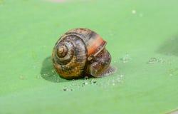 πράσινο σαλιγκάρι φύλλων Στοκ φωτογραφία με δικαίωμα ελεύθερης χρήσης