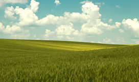 Πράσινο σιτάρι Στοκ Εικόνα