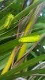 Πράσινο σκουλήκι στο φύλλο Στοκ Εικόνα