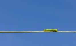 Πράσινο σκουλήκι Στοκ φωτογραφίες με δικαίωμα ελεύθερης χρήσης