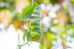 Πράσινο σκουλήκι Στοκ εικόνες με δικαίωμα ελεύθερης χρήσης