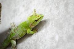 Πράσινο σκόρπισμα gecko Στοκ Φωτογραφίες