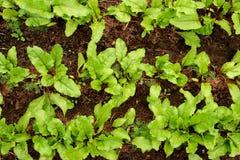 Πράσινο σπορόφυτο άνοιξη στο κρεβάτι με το χώμα Στοκ Φωτογραφίες