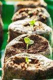 Πράσινο σπορόφυτο βασιλικού στους σβόλους τύρφης Στοκ Εικόνες