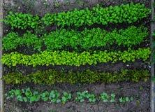 Πράσινο σπορόφυτο μαρουλιού στην αύξηση στο φυτικό κήπο Στοκ εικόνα με δικαίωμα ελεύθερης χρήσης