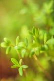 πράσινο σπορόφυτο Στοκ φωτογραφίες με δικαίωμα ελεύθερης χρήσης