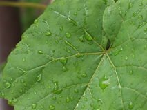 Πράσινο σταφύλι φύλλων - σταγόνα βροχής Στοκ Εικόνες