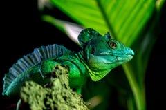 Πράσινο στενό επάνω πορτρέτο iguana που εξετάζει σας Στοκ Εικόνες