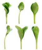 Πράσινο σύνολο νεαρών βλαστών που απομονώνεται Στοκ εικόνα με δικαίωμα ελεύθερης χρήσης