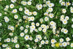 Πράσινο σύνολο τομέων των άσπρων μαργαριτών Στοκ φωτογραφίες με δικαίωμα ελεύθερης χρήσης