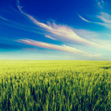 Πράσινο τοπίο τομέων, γεωργικός τομέας, κριθάρι Στοκ Εικόνες