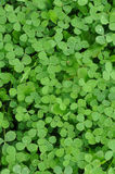 πράσινο τριφύλλι τριφυλλ&i Στοκ φωτογραφία με δικαίωμα ελεύθερης χρήσης