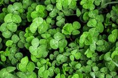 Πράσινο τριφύλλι χλόης Στοκ φωτογραφία με δικαίωμα ελεύθερης χρήσης