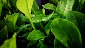 Πράσινο τροπικό αγροτικό σπανάκι φρέσκο στοκ εικόνα