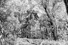 Πράσινο τροπικό ξύλο ή τροπικό δάσος ζουγκλών με τον εξωτικό φοίνικα στοκ εικόνα