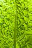 Πράσινο τροπικό φύλλο Στοκ Φωτογραφίες